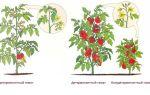 Индетерминантные и детерминантные сорта помидоров: что это и в чем их различия