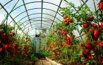 Вкусные овощи круглый год: посадка помидор в парник