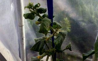Почему скручиваются плоды и листья огурцов в теплице