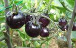 Лучшие сорта черных помидоров
