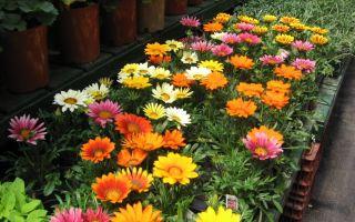 Гацания: лучшие сорта, особенности выращивания и варианты использования в ландшафтном дизайне