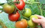 Нужно ли собирать зеленые помидоры в своей теплице?