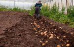 Ранний картофель в теплице: агротехника выращивания