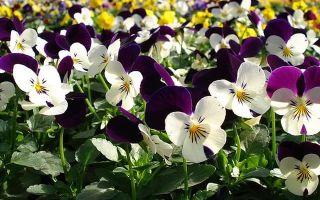Особенности выращивания виолы
