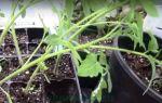 Рассада помидоров вытягивается: по какой причине это происходит и чем полить, чтобы избавиться от проблемы
