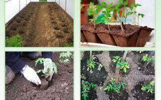 Советы когда высаживать помидоры в теплицу в сибири