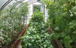 Выращивание огурцов и баклажанов в одной теплице