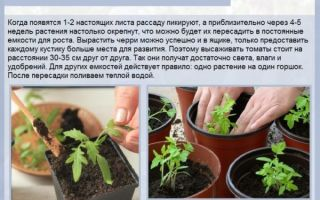 Как выполняется пикировка томатов