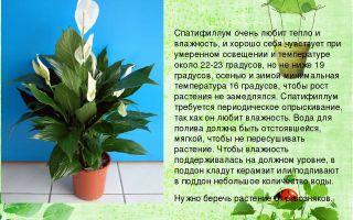 Цветок спатифиллум: виды и особенности ухода