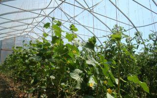 Правильное выращивание огурцов в теплице на урале