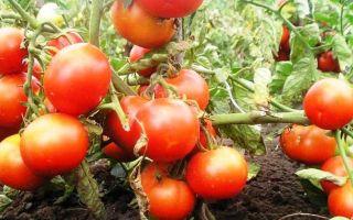 Сорта низкорослых томатов для открытого грунта без пасынкования