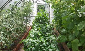 Как выращивать баклажаны и перец в одной теплице?