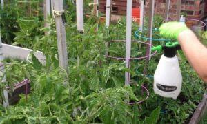 Как правильно проводить опрыскивание борной кислотой помидоров в теплице?