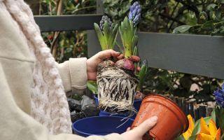 Как определить, нужно ли пересаживать гиацинт после покупки?