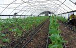 Особенности выращивания огурцов в теплице осенью