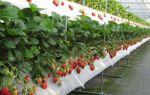Клубника: выращивание круглый год и особенности подготовки к зиме