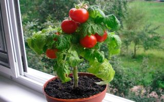 Как правильно выращивать помидоры черри в домашних условиях?