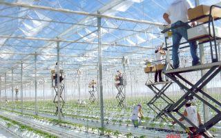 Как осуществляется строительство теплицы по голландской технологии