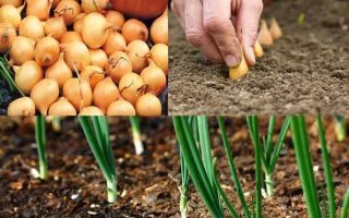 Лук севок: лучшие сорта и технология посадки
