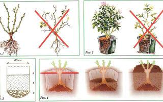 Правила посадки и ухода за плетистыми розами