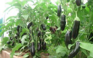Как выращивать баклажаны в условиях открытого грунта