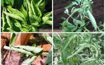 Скручиваются листья у помидоров в теплице: почему это происходит и что делать