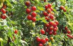 Почему плохо растут кусты помидоров