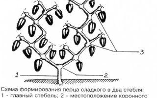 Как правильно формировать кусты перца при уходе в теплице?
