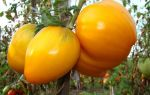 Как спасти урожай: что делать, если сохнут листья томатов