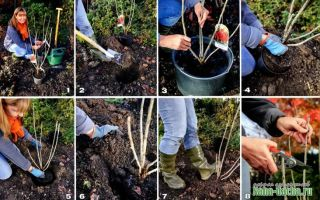 Посадка смородины осенью: пошаговая инструкция от выбора саженца до послепосадочного ухода