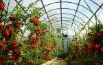 Лучшие сорта томатов для выращивания в теплице из поликарбоната