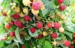 Секреты богатого урожая малины