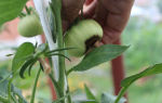 Что такое вершинная гниль помидоров: причины и лечение