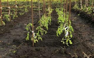 Томатная грядка: чем подкормить помидоры после высадки в грунт