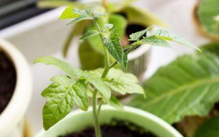 Рассада помидоров бледная и тонкая: основные причины и варианты устранения проблемы
