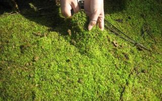 Учимся избавляться от мха в теплице, на садовом участке и строениях