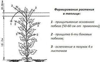 Основные правила прищипывания огурцов в теплице