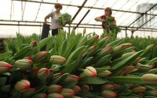 Подарок к 8 марта: как выращивать тюльпаны в теплице
