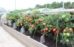 Что делать, если помидоры в теплице выросли очень высокие?