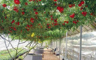 Томат спрут f1: секреты выращивания помидорного дерева