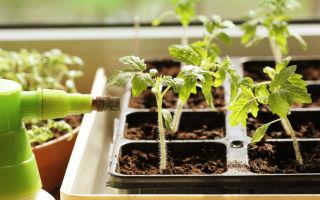 Как часто нужно поливать рассаду помидоров на подоконнике