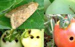 Опасность огородной совки для тепличных культур