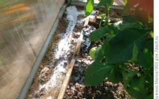 Как избавиться от муравьев в теплице с помидорами?