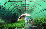 Сохнут листья у рассады помидоров: в чем причина и что делать