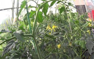 Какой должна быть подкормка томатов при цветении