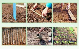 Посадка моркови в открытый грунт весной: правила и советы новичку