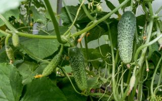 Какие бывают схемы посадки помидор в открытом грунте