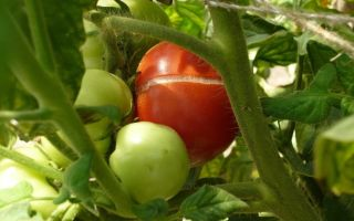 Трескаются помидоры в теплице: определяем и устраняем причины