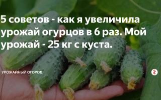 Советы садоводов: как увеличить урожай огурцов
