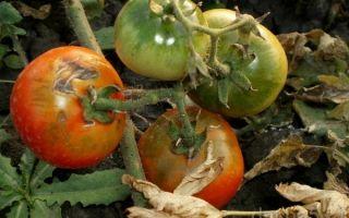 Гниль на помидорах в теплице: почему возникает и что делать для ее устранения